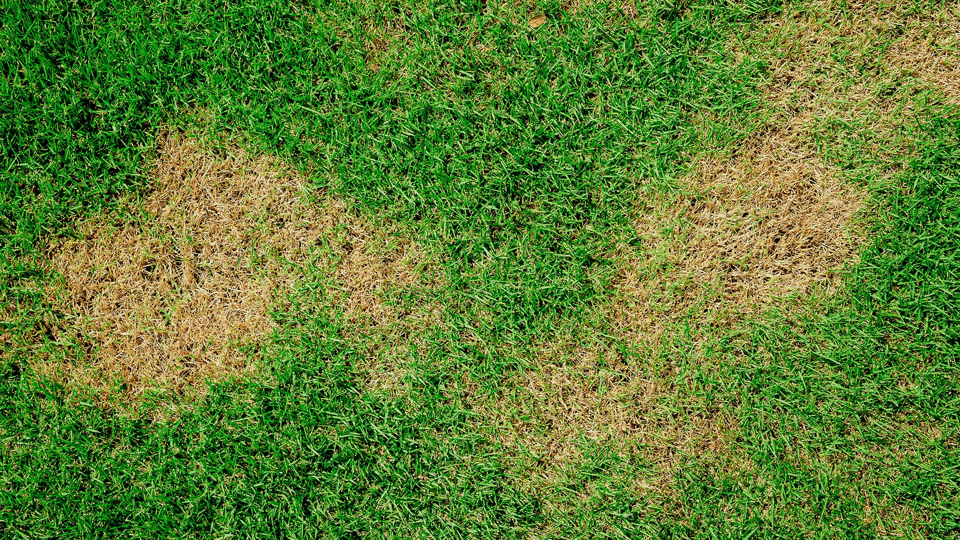 Our lawn disease control services help to prevent brown patch as seen here in a Lunenburg, MA lawn.