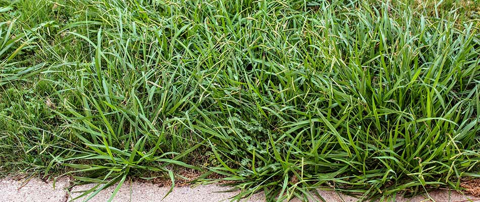 Overgrown crabgrass in a lawn near Lunenburg, MA.
